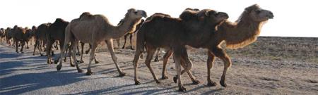 camels_for_ekz